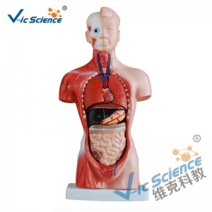 26CM Torso Model 15 dele Anatomy Body Model